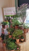 Pelargonien-Ausstellung