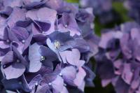 3. Hydrangea