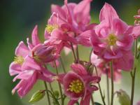 Aquilegia vulgaris Rose Rose Zickh P1830234