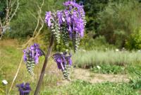 Salvia nutans13